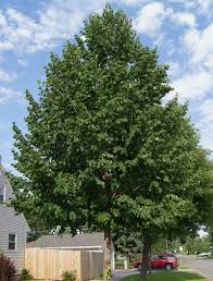 best 25 shade trees ideas on trees to plant