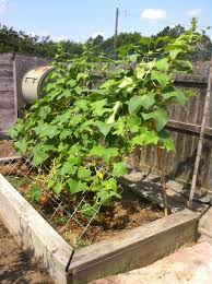 Cucumber Spacing On Trellis 137 Best Growing Cucumbers Images On Pinterest Gardening
