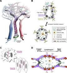 lymphatic vascular morphogenesis in development physiology and