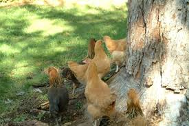Best Laying Hens For Backyard Chickens Best Backyard Egg Laying Hen Breeds Pethelpful