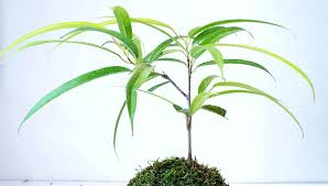 best low light indoor trees answered what are the best indoor trees for low light sproutabl best