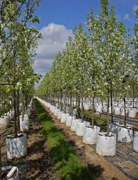 buy bradford pear trees pyrus calleryana chanticleer