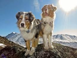 australian shepherd vs brittany straying dog is your dog a hiking dog