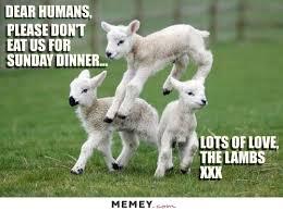 Alpaca Sheep Meme - lamb memes funny lamb pictures memey com