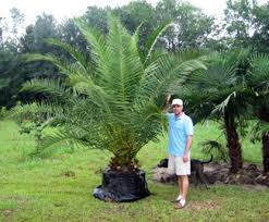 sylvester palm tree prices canary island palm canary island date palms willis orchards