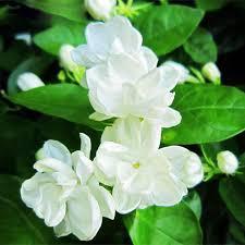 white jasmine flower seeds fragrant plant arabian jasmine