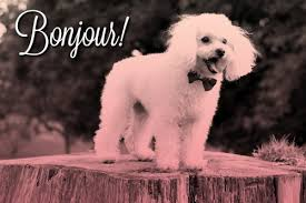 bichon frise names male french dog names that make you say u0027oooh la la u0027