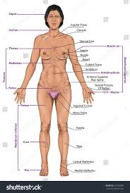 External Female Anatomy Diagram Woman Women Female Anatomical Body Surface Stock Illustration