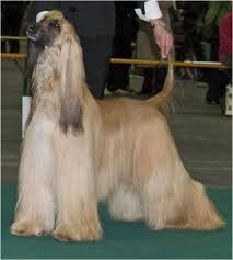 zoso afghan hound afghan hound puppies full grown dogs and pets cheap or