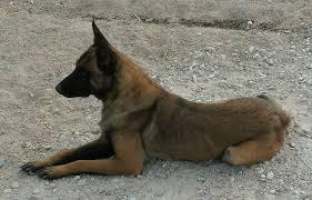 belgian sheepdog craigslist belgian malinois puppies portales new mexico
