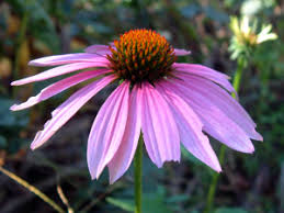 echinacea flower echinacea flower also known as the purple coneflower