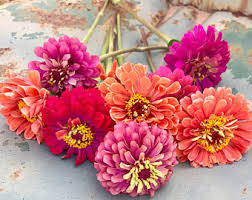 heirloom zinnia seed queen red lime benary u0027s giant lime