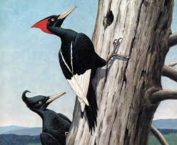 in search of the imperial woodpecker audubon