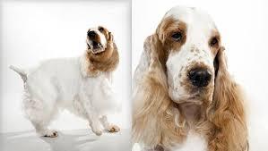 imagenes de english cocker spaniel english cocker spaniel dog breed selector animal planet