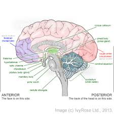 Which Part Of The Brain Consists Of Two Hemispheres Parts Of The Brain