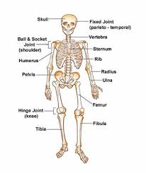 Anatomy Of The Human Skeleton Learning About The Human Skeleton Vocabulary Aiman Farwa