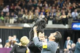 affenpinscher won westminster banana joe the affenpinscher bis lipetplace