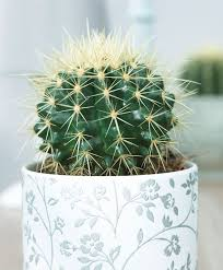 buy house plants now mother in laws cushion bakker com