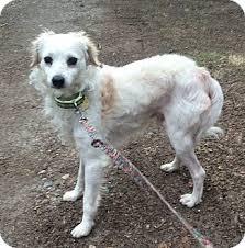 american eskimo dog yahoo iggy adopted dog oak ridge nj american eskimo dog italian