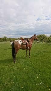 best 25 appaloosa ideas on pinterest pretty horses horses and