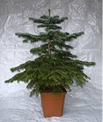 5ft fraser fir tree pot grown real live keep in pot