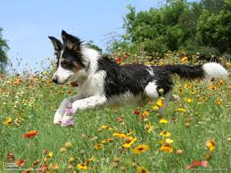 bearded collie x border collie puppies for sale border collie wallpapers hd download