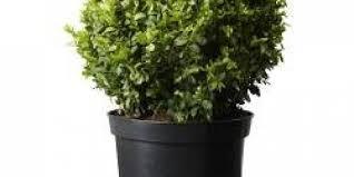 buxus sempervirens in vaso buxus sempervirens pianta da vaso bosso palla ikea italy