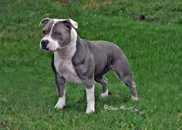 american pitbull terrier blue second chance maggie annabelleus blue and white american pitbull