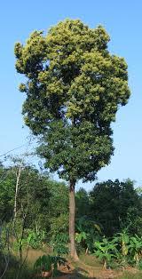 file mango tree kerala in bloom jpg wikimedia commons