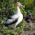 ALBATROSS - Wikipedia, the free encyclopedia