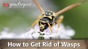 how to get rid of wasps organic gardening blog