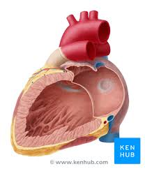 Gross Anatomy Of The Human Heart Heart Right Atrium And Left Atrium Kenhub
