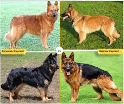 australian shepherd vs brittany 11 dog breeds like the german shepherd pethelpful