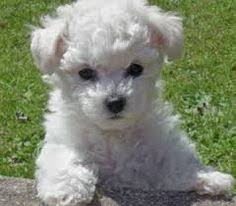 bichon frise breeders near me no he u0027s not a tasty italian sauce the bolognese like his cousin