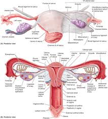 Perineum Anatomy Female Chapter 3 Pelvis And Perineum U2013 Part 2 Essay Medicine And
