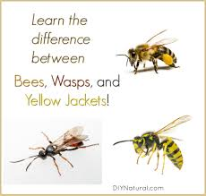 learn the difference between bees wasps and yellow jackets