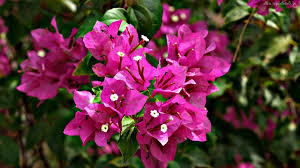 flowers bugenwilla tapeciarnia kwitnaca pink flowers white nature