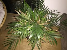 House Plants Diseases - palm houseplant problem