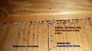 What Does Bed Bugs Look Like Bed Bugs Frequently Asked Questions Toronto Bedbug Ca