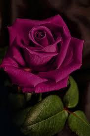 best 25 purple rose ideas on pinterest purple roses flowers