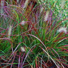 pennisetum alopecuroides burgundy bunny ornamental grasses at