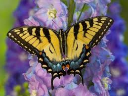 eastern tiger swallowtail butterfly on delphinium