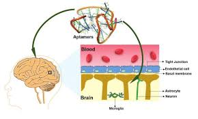 Blood Brain Barrier Anatomy Aptamers And The Blood Brain Barrier Aptamer Group