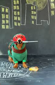 Halloween Costumes Miniature Dachshunds 76 Dixie Costumes Images Animals Dachshunds