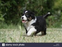 australian shepherd black dog australian shepherd aussie puppy tricolor black walking in