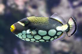 uq triggers reef fish colour vision study uq news the