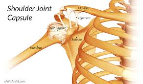 Anatomy Of Shoulder Muscles And Tendons Shoulder Joint Anatomy Skeletal System Cartilages Ligaments