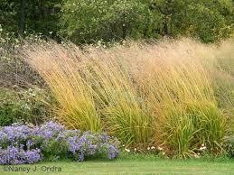 skyracer purple moor grass molinia caerulea repinned by