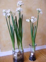 paperwhite flowers plant paperwhite bulbs for simple decor mollyinseattle
