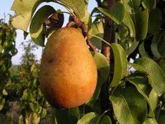 Blackmoor Fruit Trees - blackmoor fruit nursery fruit trees for sale large selection of